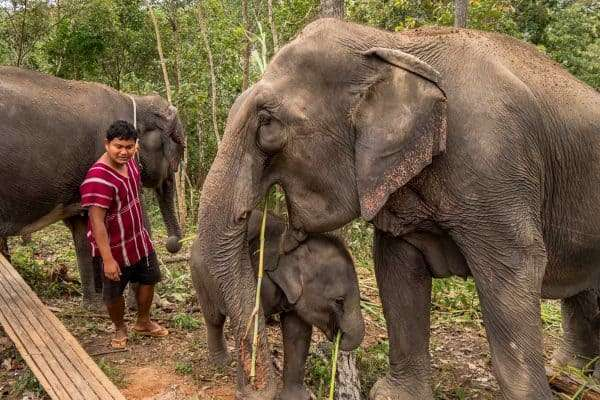 One Day at Ethical Elephant Sanctuary In Thailand elephants