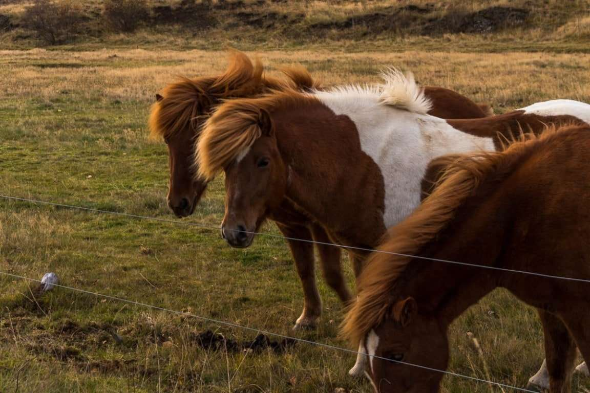 Icelandic horses - road trip itinerary