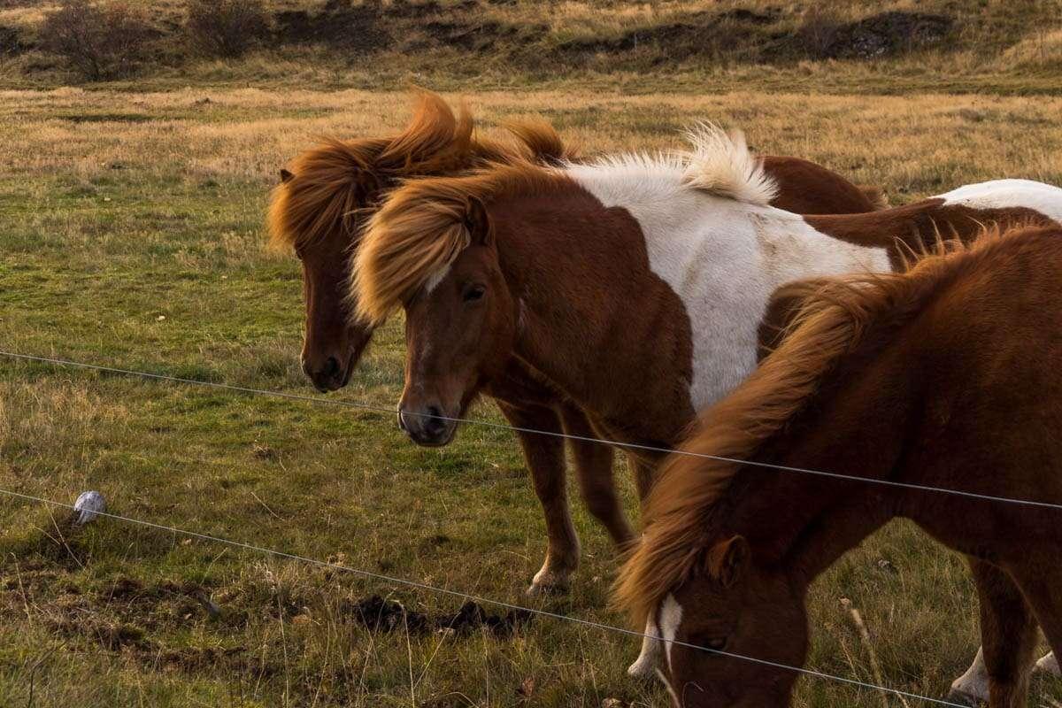 Icelandic horses - road trip i