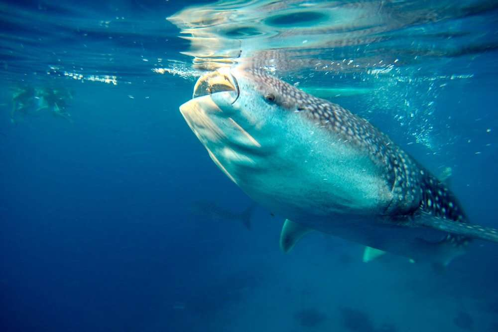 philippines-travel-itinerary-whale-shark